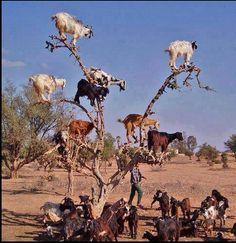 Goats on a tree - Kurdistan