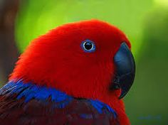 eclectus parrot - Google Search