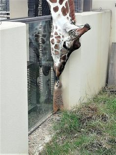 Great Absolutely Free baby animals giraffe Tips Even if the mothers and fathers are probably content and also absolved to check out all of us become older in addition Cute Creatures, Beautiful Creatures, Animals Beautiful, Cute Funny Animals, Cute Baby Animals, Party Animals, Nature Animals, Animals And Pets, Tier Fotos