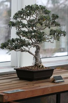 A bonsai exhibit includes this dwarf olive tree.