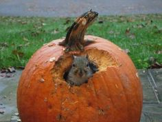 A squirrel sits in my pumpkin, practically begging me to take his picture. Squirrel Pictures, Squirrel Feeder, Fall Pictures, Chipmunks, Squirrels, Cute Baby Animals, Pumpkin Carving, Cute Babies, Nom Nom