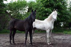 Caballos, Negro, Blanco, Animales Domésticos