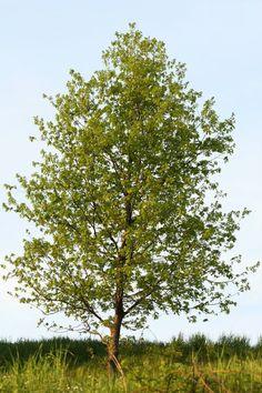 13 Best Hybrid Poplar Trees Images Hybrid Poplar Tree