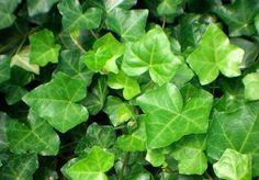 Evinizi temizleyecek 16 bitki | Duvar sarmaşığı benzen, ksilen, formaldehit ve tolueni süzüyor.