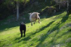 Lykkelige lam på marken! Bergen, Eid, Animals, Animais, Animales, Animaux, Animal, Mountains, Dieren