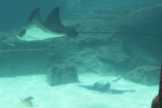 Stingrays at the Dig, Paradise Island.