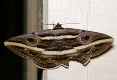 Class:	Insecta Order:	Lepidoptera Family:	Noctuidae Genus:	Donuca Species:	orbigera Common Name:	no common name