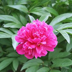 Peony_Often sweetly fragrant, peony is a very long-lived plant that forms 2- to 4-foot-tall clumps in shrublike bunches. Its numerous varieties offer a wide range of colors, and blooming periods from late spring to early summer.  Zones 3-8