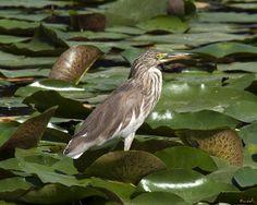 2012 Photograph, Javan Pond Heron (Ardeola speciosa), King Rama IX Royal Park, Prawet, Bangkok, Thailand, © 2013.  ภาพถ่าย ๒๕๕๕ นกยางกรอกพันธุ์ชวา สวนหลวง ร.๙ เขตประเวศ กรุงเทพ ประเทศไทย