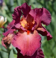TB Iris germanica 'Lady Friend' (Ghio, 1981)