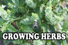"""Growing Herbs – Great For Your Garden…And Your Kitchen! 