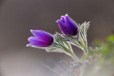 Anemone Pulsatile by Rucher Rucher - Photo 88447221 - 500px