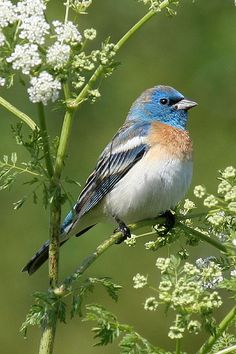 """Lazuli Bunting in Poison Hemlock"" by Robert Lewis on Flickr"