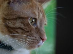 To compensate for the previous pics here's one of Felix. Shot on the same day as the #spider using the great #Canon 180L zoom lens on my aging 450D body It's all about waiting patiently to catch the right moment.  #cat #cats #catsofinstagram #Sydney #backyard #photography #ginger #tabby #pictureoftheday #picoftheday #authorsofinstagram