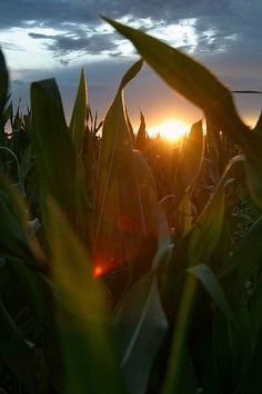 Sunset through the Cornfield. Country Farm, Country Life, Country Roads, Foto Cowgirl, Foto Art, Nature Wallpaper, Farm Life, Ranch, Nature Photography