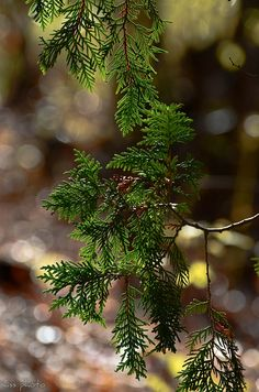 Cedars | Flickr