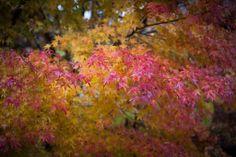 福満虚空藏尊圓藏寺 (The autumn leaves, ENZO-JI Temple, Yanaizu, Fukushima, JAPAN)