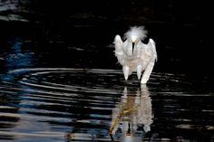 Foto garça-branca-pequena (Egretta thula) por Junior Amojr | Wiki Aves - A Enciclopédia das Aves do Brasil