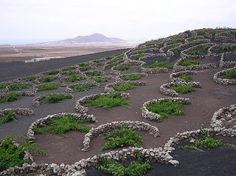Malvasia grape vines growing in topsoil, covered in lapilli, La Geria, Lanzarote. The low, curved walls protect the vines from the constant, drying wind.