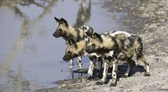 Wild dogs pups at the watering hole. #animals #Africa #kidsonsafari