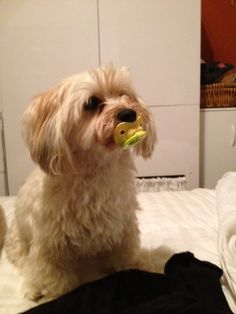 My dog holds a pacifier