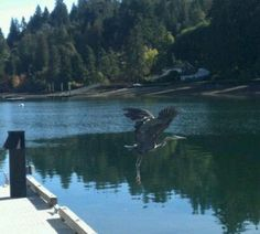 Taking flight on the Hood Canal...