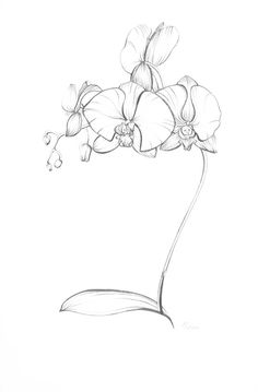 Pencil Drawings of Orchids | Blue-Turtle | blue-turtle.com | Graphic Design, Multimedia & Web ...