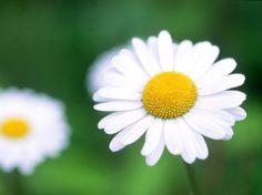 데이지(daisy) 꽃말