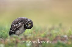 looking at things from a different perspective. burrowing owl.