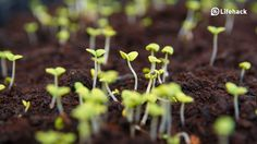 10 Common Mistakes New Growers Make Herb Gardens    If you're ready to try your hand at an herb garden, make sure you don't make any of these mistakes.