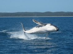 Young calves practice breaching in the calm waters of Hervey Bay before they head out to open ocean and south to Antarctic Waters. Calm Waters, Whale Watching, Sharks, Great Photos, Calves, Freedom, The Past, Ocean, Animals