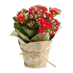 Wrapped Calandiva Plant
