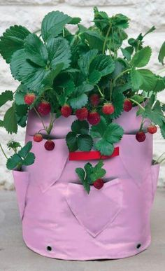 Two Pink Haxnicks Strawberry Or Herb Patio Planters £6.95   Enjoy the delicious taste of juicy, home grown strawberries on your patio or balcony. One planter will accommodate 12 strawberry plants