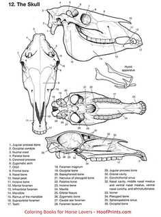 Anatomy Coloring Book - , Horse Anatomy Coloring Book - , Horse Anatomy Coloring Book - , Woodland (Forest) Animal Words by Renee Dooly Skull Anatomy, Horse Anatomy, Animal Anatomy, Anatomy Art, Animal Sketches, Animal Drawings, Animal Coloring Pages, Coloring Books, Horse Face Drawing