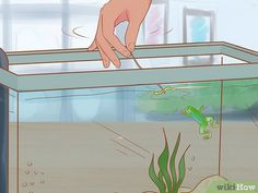 3 Ways to Play with Your African Dwarf Frog - wikiHow Dwarf Frogs, Frog Habitat, Pac Man, Pet Care, Habitats, Aquarium, Creatures, African, Play