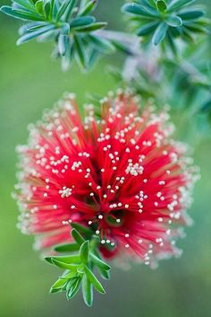 Bottlebrush Kunzea