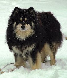 Finnish Lapphund. Get a Free Consultation for your #dog from our Friends at Nature's Select #Petfood http://naturalpetfooddelivery.com/nsd/usa/free-consultation/
