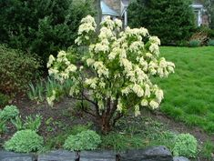 southern lady pieris - Google Search