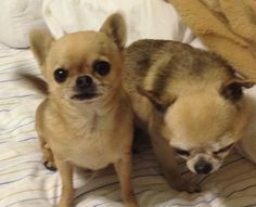 previous pinner says:  A picture of rotten!!! Two of our chihuahuas: Speedy & Bubba
