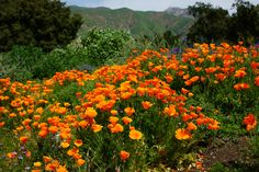 Santa Barbara poppies  by Georgia Mizuleva, via 500px - It is true, California poppies in the sun really are this brilliantly orange.  They are a sight to gladden the heart of any true Californian, me very much included.