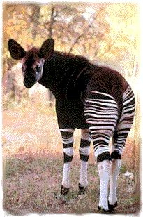 """""""The Okapi (Okapia johnstoni) is an herbivorous Giraffid artiodactyl mammal native to the Ituri Rainforest, located in the NE of the Democratic Republic of the Congo, in Central Africa. Although the Okapi bears striped markings reminiscent of Zebras, it is most closely related to the Giraffe. The Okapi and the Giraffe are the only living members of the familyGiraffidae.""""     (Image: """"Okapi."""")"""