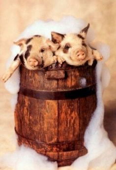 Pigs In A Barrel
