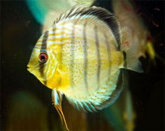 Freshwater Aquarium Fish Species   Freshwater fish & aquariums