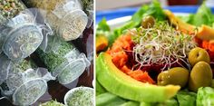 Comer germinados es incorporar energía a todas las células del cuerpo, favorecen la salud y alargan la vida. Aprende a cómo cultivarlos en casa.