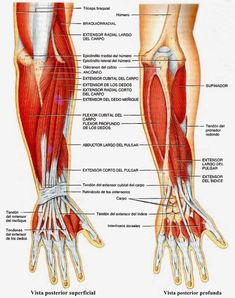 Subjects of study for human anatomy. Arm Muscle Anatomy, Ankle Anatomy, Body Anatomy, Hand Therapy, Massage Therapy, Upper Limb Anatomy, Medical Wallpaper, Medicine Student, Pharmacology Nursing