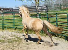 pinterest.com/gaitedmorgans 16April 2016  http://gaitedmorgans.com  Jellico Farms Naturally Gaited Morgans.  502-647-1572  gaitedmorgans@jellicofarms.com  Three year old Gaited Morgan stallion, cremello, Jellico Creme De La Creme in action.  You can see him posed in next pin.