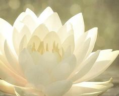The Lotus Flower grows in the deep mud, far away from the sun. But, sooner or later, the Lotus reaches the light becoming the most beautiful flower ever. White Flowers, Beautiful Flowers, Simply Beautiful, Colorful Roses, Shades Of White, Gerbera, Vintage Roses, Bloom, Pure Products