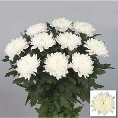 Chrysanthemum Gagarin is a White disbudded, single headed cut flower. Long lasting and perfect for hand ties, bouquets, wedding flowers and corporate arrangements. Available in many colours. Wedding Flower Arrangements, Wedding Bouquets, Wedding Flowers, May Flowers, Amazing Flowers, White Chrysanthemum, Florist Supplies, April Wedding, Colour Schemes