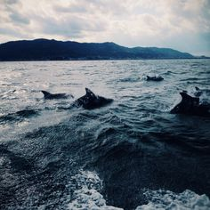 lostslightly:  rrictus:  Dolphin watching today was very incredible I nearly cried bc so majestic and I also nearly dropped my phone into the ocean numerous times BUT DIDN'T  this is gorgeous