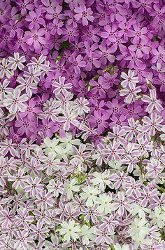 Long-blooming perennials - PinkWhiteStripeGradPhlox